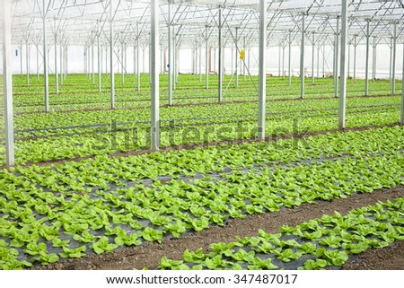 Growth of lettuce inside a greenhouse - stock photo