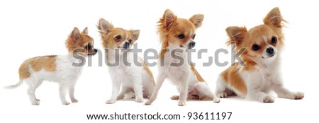 growth of  purebred  chihuahua in front of white background between three month and one year - stock photo