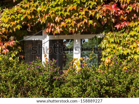 Growth of red and green ivy leaves surround white windows on old brick cottage or house - stock photo