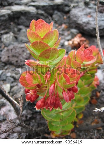 Growth on lava rocks - stock photo