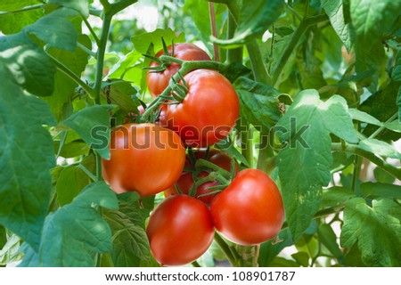 Growth red tomato in greenhouse - stock photo