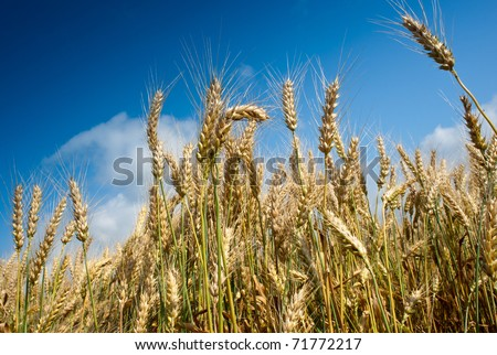 growth  wheat - stock photo