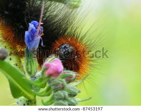 Grub of garden tiger Arctia caja - stock photo