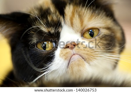 grumpy facial expression Exotic tortoiseshell cat portrait close-up   - stock photo
