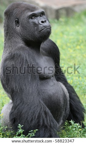 Grumpy looking Gorilla sitting in grass - stock photo