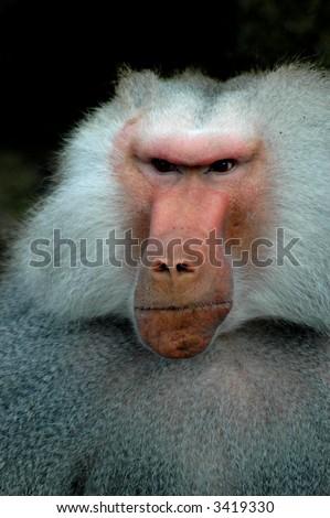 Grumpy Old Monkey - stock photo