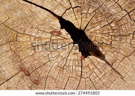 Grunge cracked texture of tree stump with red firebugs on it - stock photo