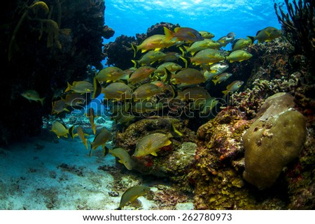 Grunts swimming through a swim through in Cozumel Mexico - stock photo