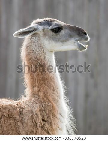 Guanaco (Lama guanicoe) profile portrait - stock photo