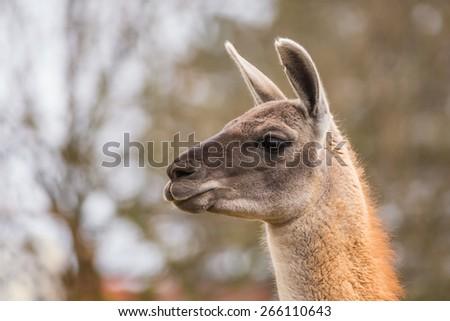 Guanaco portrait (Lama guanicoe) - stock photo
