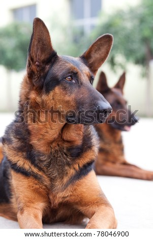 Guard dog close up shoot - stock photo