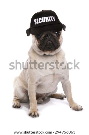 guard dog pug studio cutout - stock photo