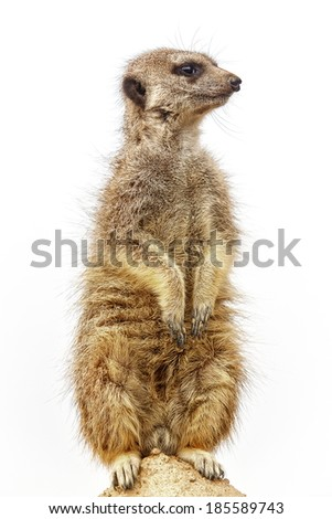 guarding Meerkat separately - stock photo