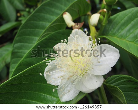 guava flower - stock photo
