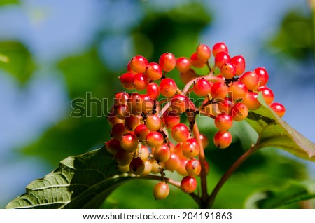Guelder Rose, also called Water Elder, European Cranberrybush, Cramp Bark or Snowball Tree with red berries and green leaves. - stock photo