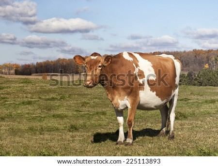 Guernsey cow in a large pasture.    - stock photo