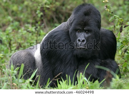 Guhonda the Silverback - stock photo