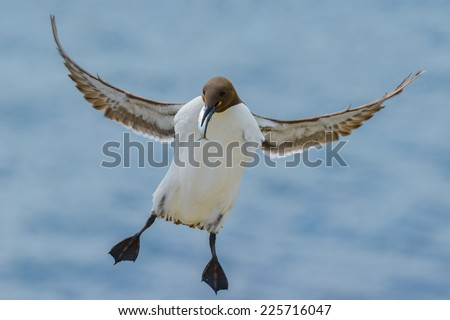Guillemot (Uria aalge) about to land on rocks having caught a fish. Shot against out of focus sea. Horizontal format with copy space.  - stock photo