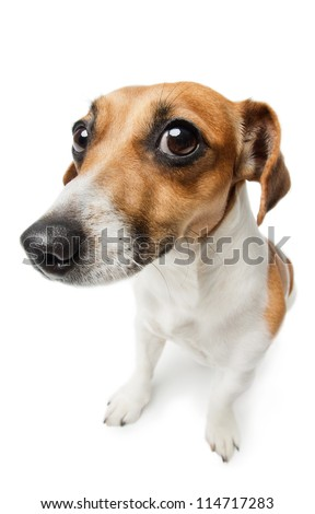 Guilty dog on white. Unhappy looking Jack Russel terrier dog. Guilty dog staring at the camera. - stock photo