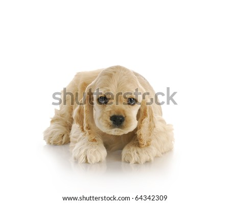 guilty looking puppy looking up - 7 week old american cocker spaniel - stock photo