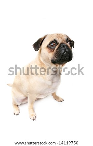 Guilty Pug isolated on white background. - stock photo