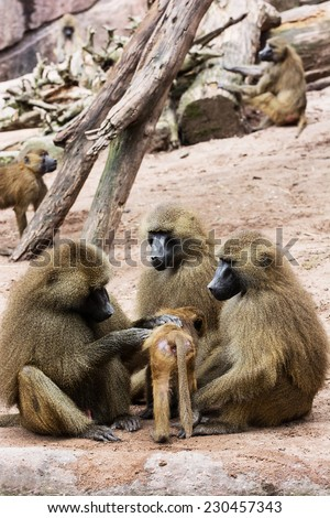 Guinea baboon family (Papio papio). Family hygiene. - stock photo