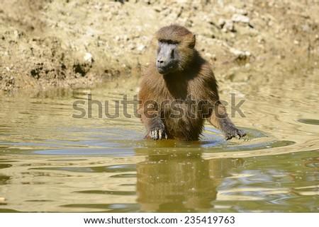 Guinea baboon (Papio papio) walking in the water - stock photo