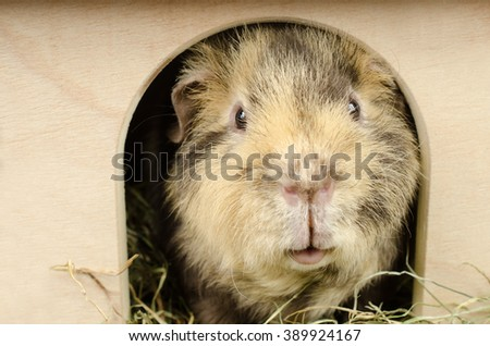 guinea in the hut II (US-Teddy guinea pig) - stock photo