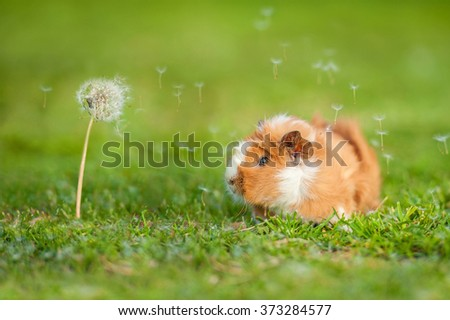 Guinea pig and dandelion with blowing seeds in the wind - stock photo