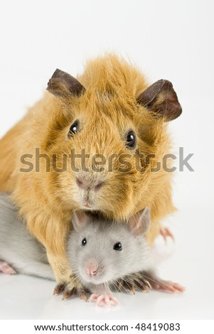Guinea pig and rat playing on white background - stock photo