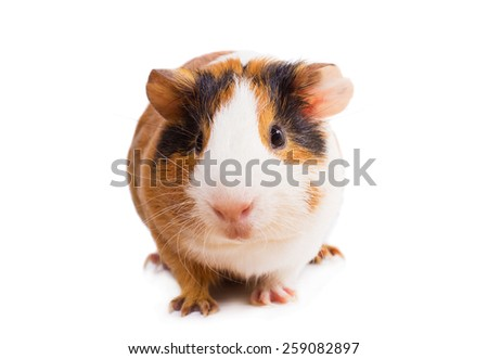 Guinea pig closeup. Isolated on white background - stock photo