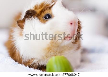 guinea pig eating cucumber - stock photo