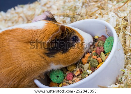 Guinea pig eating from a white bowl. Closeup - stock photo
