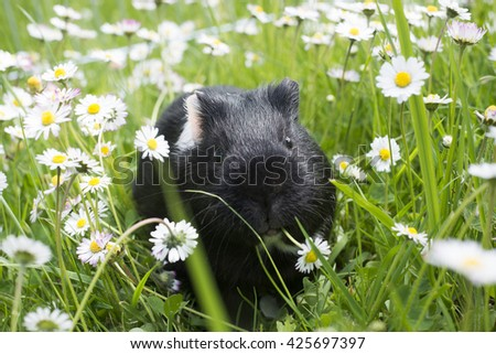 Guinea pig eating grass outside in the garden. Guinea pig (Cavia porcellus) is a popular household pet. - stock photo