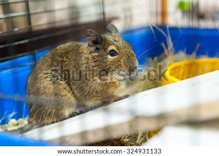 Guinea pig for sale in pet shop - stock photo