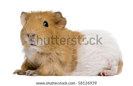 Guinea pig in front of white background - stock photo