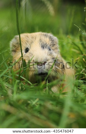 Guinea pig in grass - stock photo