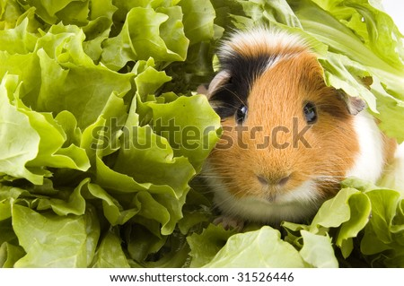 guinea pig is sitting between endive leafs - stock photo