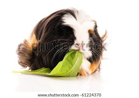 guinea pig isolated on the white background. coronet - stock photo