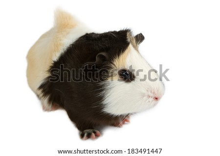 Guinea pig little pet rodent - stock photo
