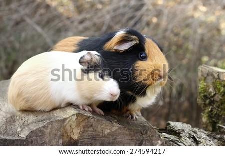 Guinea pig love - stock photo