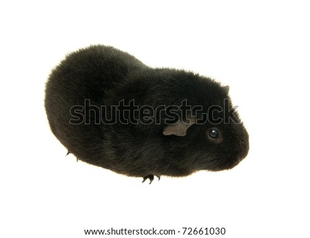 guinea pig on a white background . - stock photo