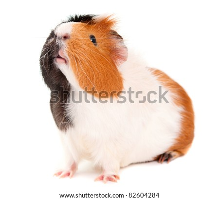 guinea pig on a white background - stock photo