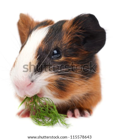 guinea pig on the white background - stock photo