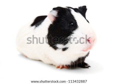 guinea pig on white background. - stock photo