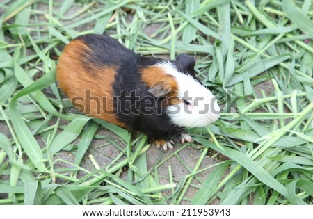 Guinea pig or hamster on the ground - stock photo