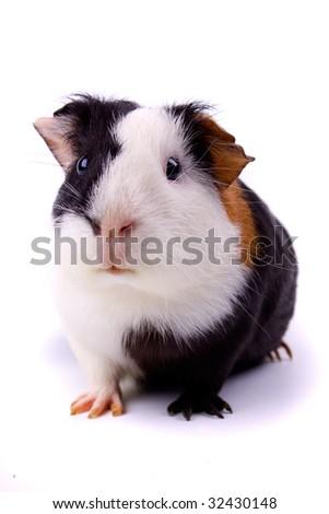 Guinea pig, pet animal isolated on white - stock photo