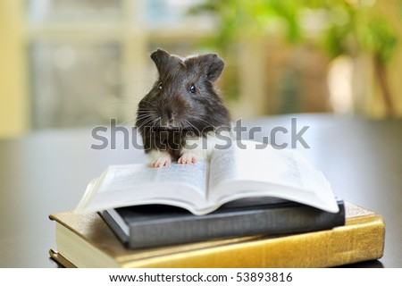 guinea pig reading - stock photo
