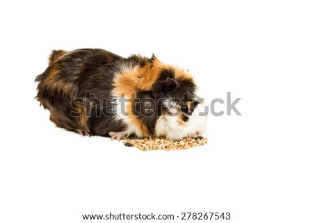 Guinea pig sitting on a pile of feed and eat isolated on a white background - stock photo