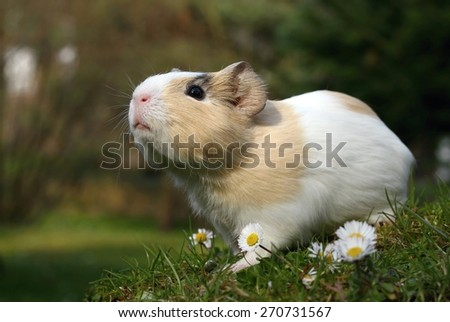 Guinea pig sniffing - stock photo